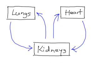 lungs-heart-kidneys